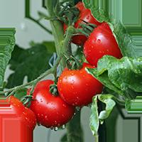 tomaten_icon